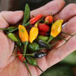 Chili und Ingwer Diät – Diätplan, Rezepte, Lebensmittel, Tipps