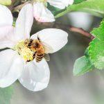 Nahrungsergänzung – Manuka Honig Neuseeland – Wirkung, Anwendungen, Nebenwirkungen, Studien